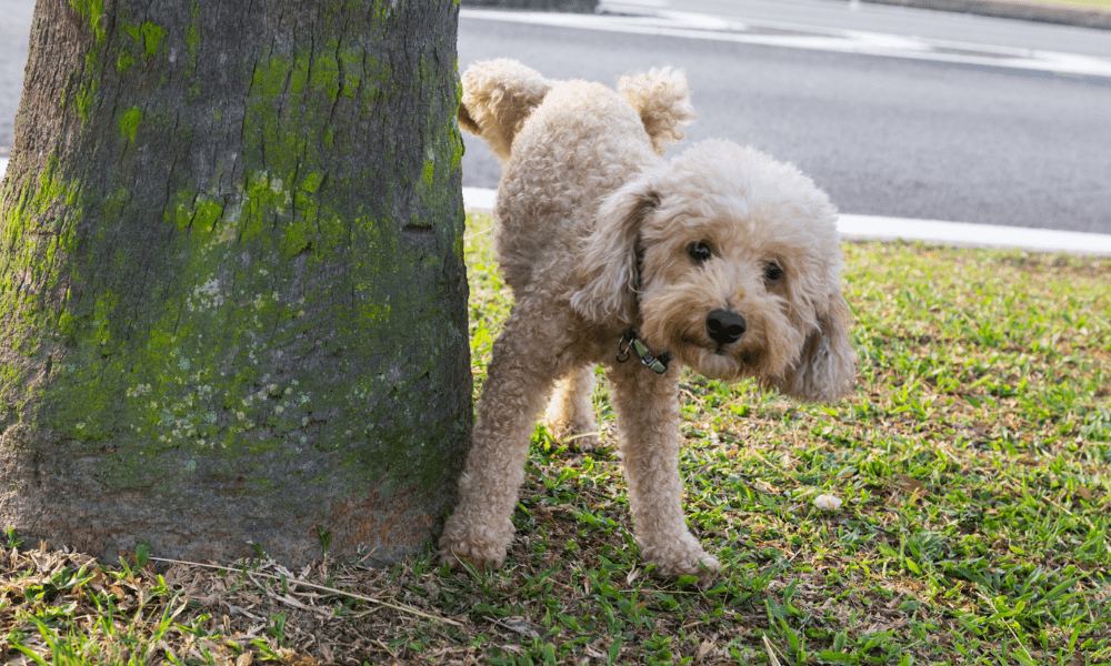 poddle urinating pee on tree