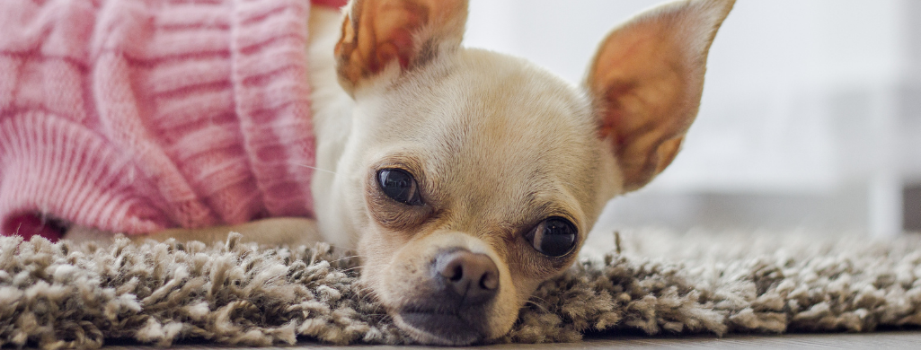 The best dog food for chihuahuas