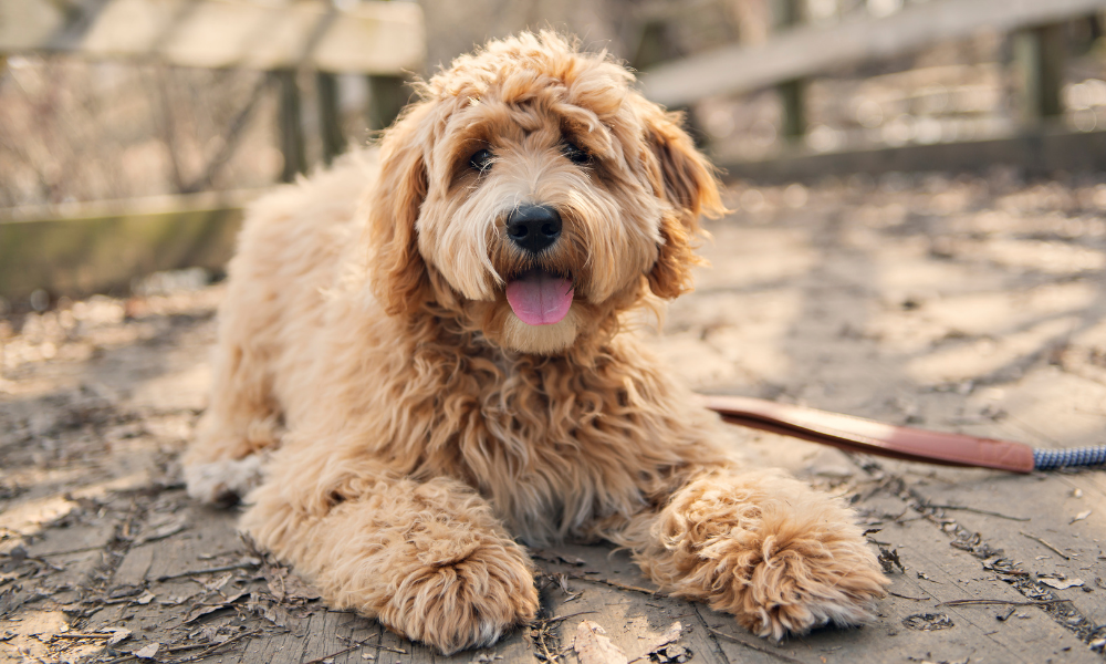 goldendoodle laying