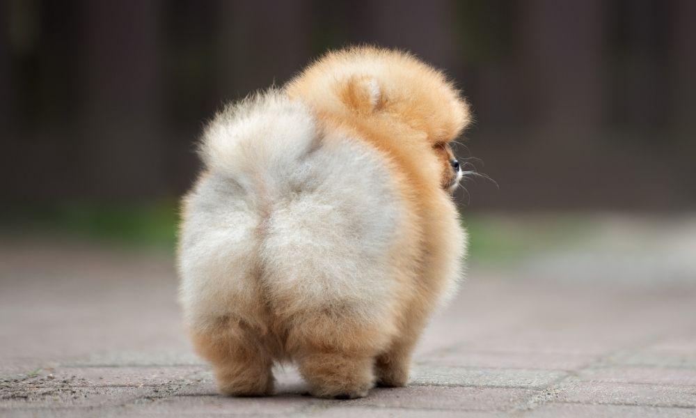 fluffy dog butt